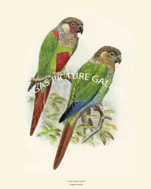 White Eared & Pearly Conure